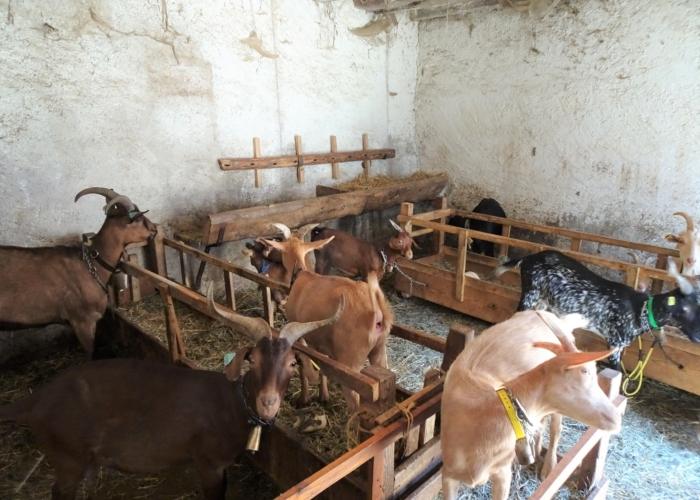 les chèvres de Mr Maugiron