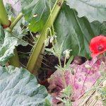 la belle rhubarbe de Nicole dans son jardin aux Certs d'Auris